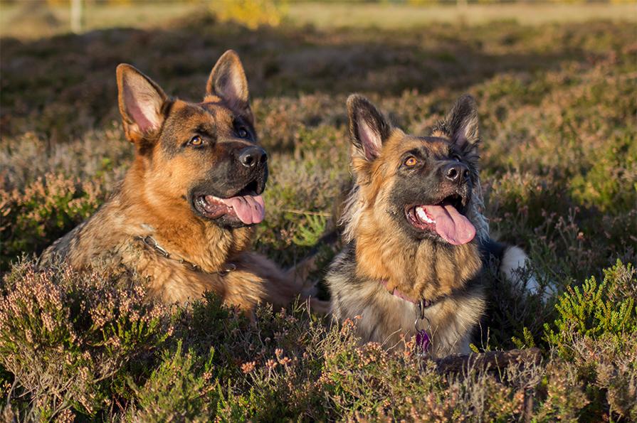Schæferhund streamers